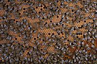 On the brood, the bees incubate the sealed cells that contain the pupae to maintain their temperature at 35°. We can also see empty cells in the brood and others filled with bee bread (chunks of pollen) for raising the larvae.<br /> Sur le couvain, les cellules operculées qui contiennent les nymphes sont couvées par les abeilles pour maintenir leur température à 35 °. On remarque des cellules vides dans le couvain et aussi d'autres remplis de pain de pollen pour l'élevage des larves.
