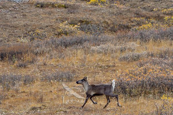 Woodland Caribou or mountain caribou (Rangifer tarandus caribou) cow running over alpine tundra, Northern Rocky Mountains,  British Columbia.  Fall.