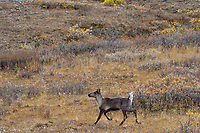 Woodland Caribou or mountain caribou (Rangifer tarandus caribou) cow running over alpine tundra, Northern Rocky Mountains,  British Columbia.  Fall.