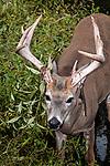 White-tailed Deer buck standing in aquatic vegetation near edge of pond, vertical