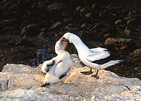 A Juvenile Masked Booby feeding with beak   in Mothers mouth.