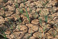 BURKINA FASO, Bokin, diocese of Kaya supports families with micro credit for cultivation of vegetables, dried onion field / BURKINA FASO, Bokin, Diozese Kaya unterstuetzt Menschen beim Gemueseanbau mit Kleinkrediten, trockenes Zwiebelfeld