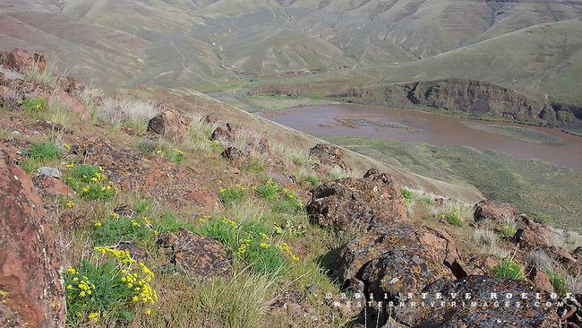 Wildflowers above the swollen John Day River.