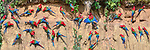 Gathering of Red-and-Green Macaws (Ara chloropterus) feeding at the wall of a clay lick (Blanquillo). Manu Biosphere Reserve, Amazonia, Peru.