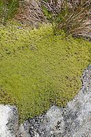 Zackenmützenmoos, Zackenmützen-Moos, Zackenmütze, Racomitrium spec., Niphotrichum spec., Moospolster, Mooskissen, Moos-Polster, Moos-Kissen, Grimmiaceae