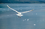 A Seagull hovers over Glacier Bay in the hopes of snatching food from unsuspecting tourists.