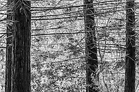 Converted to Black and White - Under the canopy of redwood trees, the lower, bare branches crisscross in a latice-like maze against a vivid green sunlit background.