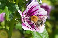 Ackerhummel, Acker-Hummel, Hummel, Weibchen, Blütenbesuch an Malve, Malva, Bombus pascuorum, Bombus agrorum, Megabombus pascuorum floralis, common carder bee, carder bee, female, le bourdon des champs