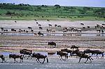 A running herd of Burchell's zebra and blue wildebeest in Arica