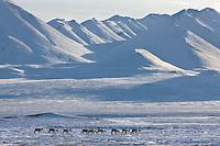 Caribou travel across the snow covered tundra in the Atigun Canyon, Endicott Mountains of the Brooks Range, Arctic, Alaska.