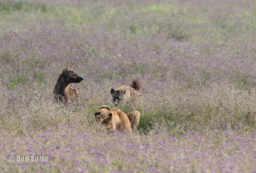Two Spotted Hyenas, Crocuta crocuta, approach a female Lion, Panthera leo  melanochaita, eating a Thomson's Gazelle, Eudorcas thomsonii,  in Ngorongoro Crater, Ngorongoro Conservation Area, Tanzania