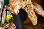 Balkan Lynx (Lynx lynx balcanicus) biologist, Alexander Pavlov, removing sedated female from box trap during collaring, Mavrovo National Park, North Macedonia