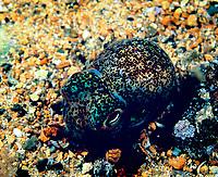 southern bobtail squid, Euprymna tasmanica, Edithburgh Jetty, Yorke Peninsula, South Australia, Southern Ocean