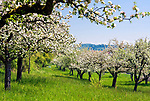 DEU, Deutschland, Baden-Wuerttemberg, Apfelbluete am Bodensee, Streuobstwiese | DEU, Germany, Baden-Wuerttemberg, apple blossom at Lake Constance, meadows with fruit trees