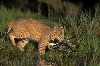 BOBCAT with pintail duck in mouth. Predator/Prey..Rocky Mountains. Autumn..(Felis rufus).
