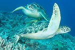 Anda, Bohol, Philippines; a pair of green sea turtles swimming over the coral reef
