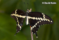 1020-0804  Giant Swallowtail Butterfly (Life Cycle Series), Papilio cresphontes © David Kuhn/Dwight Kuhn Photography.