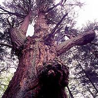 Looking up a Giant Douglas Fir (Pseudotsuga menziesii) Tree growing on Texada Island, British Columbia, Canada