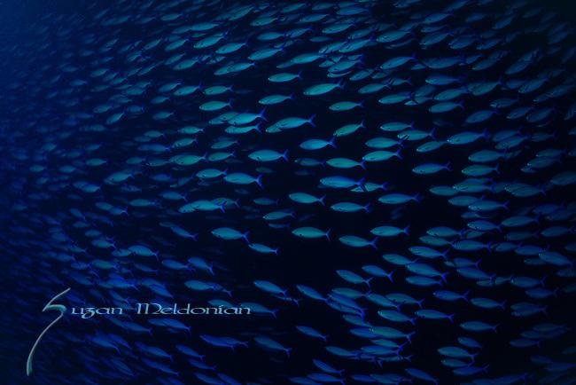 School of Fish , Maldives