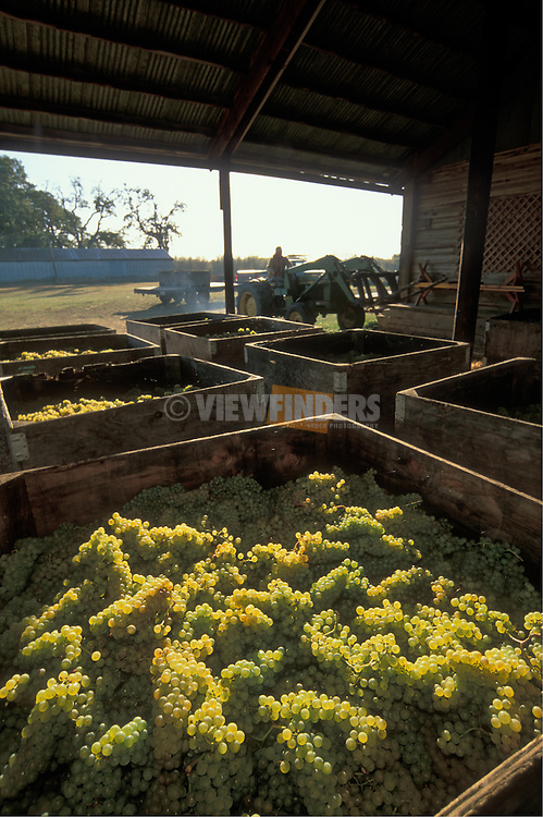 Chardonnay wine grapes in bins at Tyee Vineyards; Willamette Valley, Oregon..#9032-1546