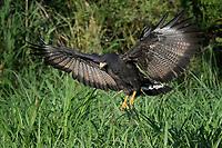 Common Black Hawk landing on the ground, Big Bend National Park