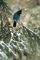 Love the deep blue color of the Steller's Jay (Cyanocitta stelleri). A member of the Corvid family, which includes crows, ravens and magpies, they are renowned for their incredible intelligence. This one was watching a tussle between some Pine Grosbeaks on the ground, and chose to refrain from the silliness.