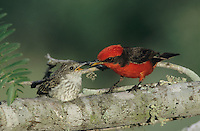 Vermillion Flycatcher, Pyrocephalus rubinus,male feeding young outside of nest, Lake Corpus Christi, Texas, USA