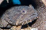 Oyster Toadfish medium shot
