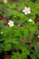 False rue anemone, Weise Slough, Muscatine County, Iowa
