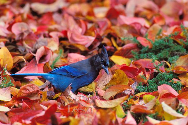 Steller's Jay (Cyanocitta stelleri) in dogwood leaves.  Pacific NW.  Fall.