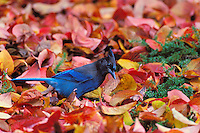 Steller's Jay (Cyanocitta stelleri) in dogwood leaves.  Pacific NW.  Fall.