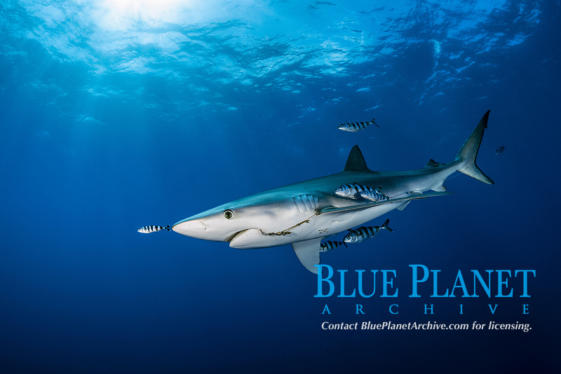 blue shark (Prionace glauca), with fishing hook and line, swimming with pilot fish, Naucrates ductor, Pico Island, Azores, Portugal, Atlantic Ocean