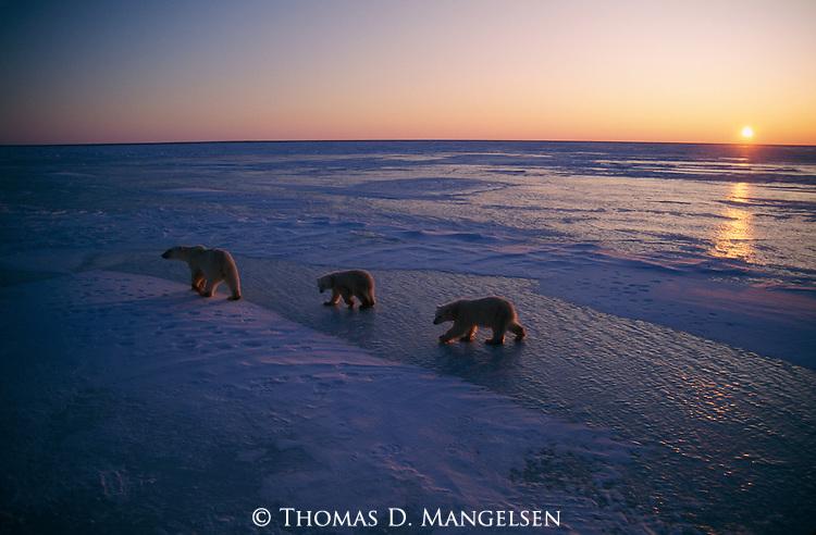 Two polar bear cubs follow their mom across the ice in Canada.