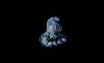 Anemone-tube dwelling larval stage, Cerianthid anemone postlarva