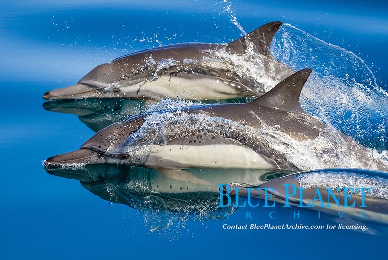 Common dolphin (delphinus delphis) Gulf of California.A trio of common dolphins., Baja California, Mexico, Pacific Ocean