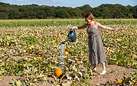 BNPS.co.uk (01202) 558833. <br /> Pic: CorinMesser/BNPS<br /> <br /> Pictured: Farm shop baker Kay Tanner lends a hand watering the crop at Sopley Farm pick your own at Christchurch, Dorset. <br /> <br /> Pumpkin farmers have begun harvesting their crop in the late summer sunshine.<br /> <br /> While many farmers and wholesalers say it has not been a great year for the autumnal fruit, these farms have some squashes ready to be cut.<br /> <br /> Forde Abbey in Chard, Somerset, have beaten the odds with a decent crop in their kitchen garden.<br /> <br /> Gardener Jo Witts said they were expecting to harvest around 200 pumpkins which will be left to dry out ready for pumpkin rolling in the half term holidays.<br /> <br /> At Sopley PYO Farm in Christchurch, Dorset, families have been getting in there early to pick their pumpkins before Halloween.