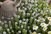 Aethionema caespitosum, Turkish Stonecress flowering in David Salman New Mexico garden with cactus