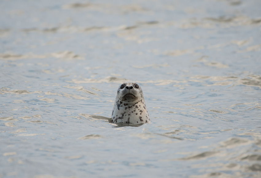 Harbor Seal, Homer, Alaska. Photo by James R. Evans.