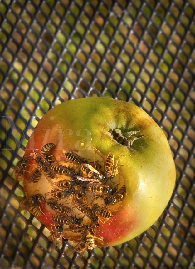 Honey Bees eating apple
