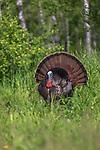 Tom turkey strutting for a hen in northern Wisconsin.