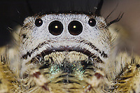 Unknown Jumping Spider, Salticidae, adult, New Braunfels, Hill Country, Texas, USA, March 2006