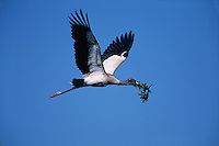 A Wood stork (Mycteria americana) in flight, carrying nesting material.