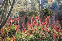 Red flowering Aloe succulent backlit in the drought tolerant Desert Garden at Huntington Library Botanical Garden, California
