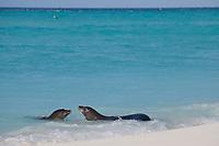Hawaiian monk seals, Neomonachus schauinslandi, male makes advances toward female, Critically Endangered endemic species, Sand Island, Midway, Atoll, Midway Atoll National Wildlife Refuge, Papahanaumokuakea Marine National Monument, Northwest Hawaiian Islands ( Central North Pacific Ocean )