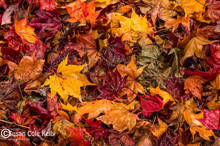Fall foliage at the Arnold Arboretum in the Jamaica Plain neighborhood, Boston, Massachusetts, USA