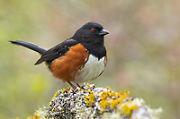 Spotted Towhee (Pipilo maculatus). Washington County, Oregon. April.