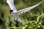 Endangered Roseate tern in flight with fish in its' beak.