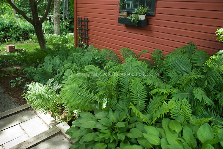 Foliage Garden in Shade with red Shed, ferns, hostas, wide view, greenery, container plants by windowsill, hanging chimes, beautiful scene in summer