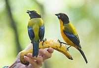 Black-chinned mountain tanagers, Anisognathus notabilis, perched on a banana held by bird guide Angel Paz. Refugio Paz de las Aves, Ecuador