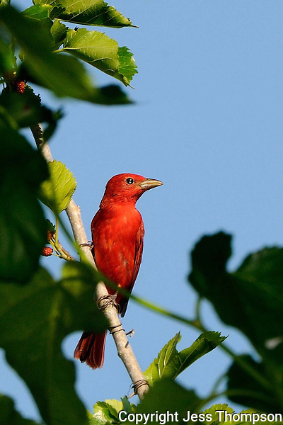 Summer Tanager, Rockport, Texas